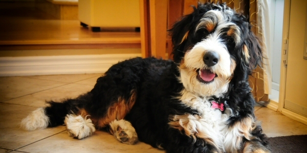 Miniature Bernedoodles Breed Photo