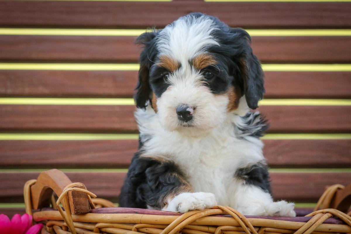 Miniature Bernedoodle Puppies Sold At Djs Designer Doodles